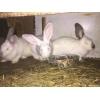 Кролики-самки